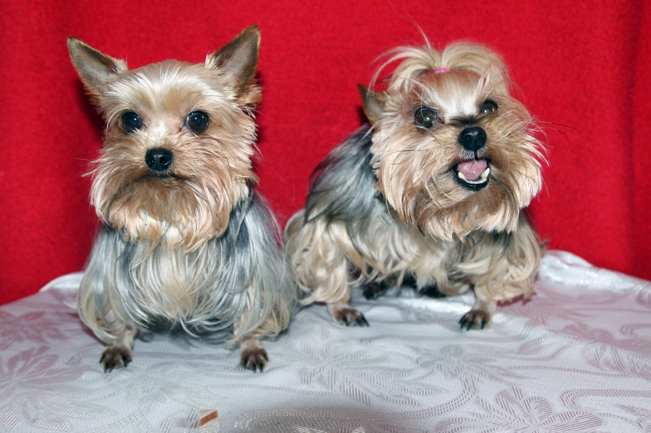 Free image: Yorkshire terrier